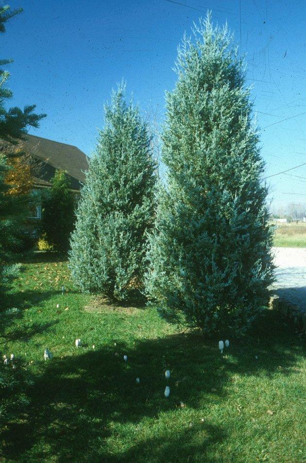 Juniperus scopulorum 'Blue Haven'